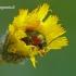 Cryptocephalus sericeus - Žaliasis paslėptagalvis | Fotografijos autorius : Darius Baužys | © Macrogamta.lt | Šis tinklapis priklauso bendruomenei kuri domisi makro fotografija ir fotografuoja gyvąjį makro pasaulį.