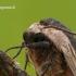 Sphinx ligustri - Ligustrinis sfinksas | Fotografijos autorius : Darius Baužys | © Macrogamta.lt | Šis tinklapis priklauso bendruomenei kuri domisi makro fotografija ir fotografuoja gyvąjį makro pasaulį.