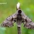 Smerinthus ocellatus - Akiuotasis sfinksas | Fotografijos autorius : Darius Baužys | © Macrogamta.lt | Šis tinklapis priklauso bendruomenei kuri domisi makro fotografija ir fotografuoja gyvąjį makro pasaulį.