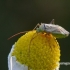 Adelphocoris lineolatus - Liucerninė žolblakė | Fotografijos autorius : Darius Baužys | © Macrogamta.lt | Šis tinklapis priklauso bendruomenei kuri domisi makro fotografija ir fotografuoja gyvąjį makro pasaulį.