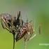 Juostelinė skydblakė - Graphosoma italicum | Fotografijos autorius : Darius Baužys | © Macrogamta.lt | Šis tinklapis priklauso bendruomenei kuri domisi makro fotografija ir fotografuoja gyvąjį makro pasaulį.