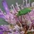 alocoris affinis – Žolblakė | Fotografijos autorius : Darius Baužys | © Macrogamta.lt | Šis tinklapis priklauso bendruomenei kuri domisi makro fotografija ir fotografuoja gyvąjį makro pasaulį.