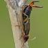 Forficula auricularia - Paprastoji auslinda | Fotografijos autorius : Darius Baužys | © Macrogamta.lt | Šis tinklapis priklauso bendruomenei kuri domisi makro fotografija ir fotografuoja gyvąjį makro pasaulį.
