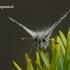 Pyrgus malvae - Mažoji hesperija | Fotografijos autorius : Darius Baužys | © Macrogamta.lt | Šis tinklapis priklauso bendruomenei kuri domisi makro fotografija ir fotografuoja gyvąjį makro pasaulį.