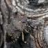 Rhacognathus punctatus - Taškuotoji skydblakė | Fotografijos autorius : Darius Baužys | © Macrogamta.lt | Šis tinklapis priklauso bendruomenei kuri domisi makro fotografija ir fotografuoja gyvąjį makro pasaulį.
