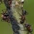 Formica rufa - Rudoji miško skruzdėlė | Fotografijos autorius : Darius Baužys | © Macrogamta.lt | Šis tinklapis priklauso bendruomenei kuri domisi makro fotografija ir fotografuoja gyvąjį makro pasaulį.