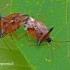 Elasmucha ferrugata - Mėlyninė skydblakė   Fotografijos autorius : Darius Baužys   © Macrogamta.lt   Šis tinklapis priklauso bendruomenei kuri domisi makro fotografija ir fotografuoja gyvąjį makro pasaulį.