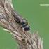 Cheilosia flavipes - Žalutė | Fotografijos autorius : Darius Baužys | © Macrogamta.lt | Šis tinklapis priklauso bendruomenei kuri domisi makro fotografija ir fotografuoja gyvąjį makro pasaulį.