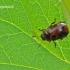 Gonioctena viminalis - Žilvitinis dygblauzdis | Fotografijos autorius : Darius Baužys | © Macrogamta.lt | Šis tinklapis priklauso bendruomenei kuri domisi makro fotografija ir fotografuoja gyvąjį makro pasaulį.