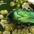 Cetonia aurata - Paprastasis auksavabalis / Bronzinukas   Fotografijos autorius : Darius Baužys   © Macrogamta.lt   Šis tinklapis priklauso bendruomenei kuri domisi makro fotografija ir fotografuoja gyvąjį makro pasaulį.
