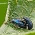 Agelastica alni - Mėlynasis alksniagraužis | Fotografijos autorius : Darius Baužys | © Macrogamta.lt | Šis tinklapis priklauso bendruomenei kuri domisi makro fotografija ir fotografuoja gyvąjį makro pasaulį.