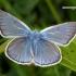 Cyaniris [=Polyommatus] semiargus - Pilkasis melsvys | Fotografijos autorius : Darius Baužys | © Macrogamta.lt | Šis tinklapis priklauso bendruomenei kuri domisi makro fotografija ir fotografuoja gyvąjį makro pasaulį.