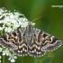 Pilkasis dobilinukas - Euclidia mi  | Fotografijos autorius : Darius Baužys | © Macrogamta.lt | Šis tinklapis priklauso bendruomenei kuri domisi makro fotografija ir fotografuoja gyvąjį makro pasaulį.