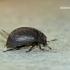 Byrrhus pilula - Paprastasis kamuolvabalis | Fotografijos autorius : Darius Baužys | © Macrogamta.lt | Šis tinklapis priklauso bendruomenei kuri domisi makro fotografija ir fotografuoja gyvąjį makro pasaulį.