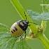 Tritomegas bicolor - Baltadėmė urvablakė | Fotografijos autorius : Darius Baužys | © Macrogamta.lt | Šis tinklapis priklauso bendruomenei kuri domisi makro fotografija ir fotografuoja gyvąjį makro pasaulį.