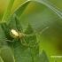 Enoplognatha ovata - Paprastasis pinkliavoris | Fotografijos autorius : Darius Baužys | © Macrogamta.lt | Šis tinklapis priklauso bendruomenei kuri domisi makro fotografija ir fotografuoja gyvąjį makro pasaulį.