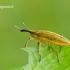Lixus iridis - Maudinis stiebastraublis | Fotografijos autorius : Darius Baužys | © Macrogamta.lt | Šis tinklapis priklauso bendruomenei kuri domisi makro fotografija ir fotografuoja gyvąjį makro pasaulį.