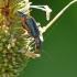 Clanoptilus marginellus - Pūsliavabalis | Fotografijos autorius : Darius Baužys | © Macrogamta.lt | Šis tinklapis priklauso bendruomenei kuri domisi makro fotografija ir fotografuoja gyvąjį makro pasaulį.
