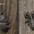 Plaukuotasis dėmėtšoklis - Sittipub pubescens | Fotografijos autorius : Darius Baužys | © Macrogamta.lt | Šis tinklapis priklauso bendruomenei kuri domisi makro fotografija ir fotografuoja gyvąjį makro pasaulį.