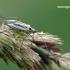 Stenotus binotatus - Juostanugarė žolblakė | Fotografijos autorius : Darius Baužys | © Macrogamta.lt | Šis tinklapis priklauso bendruomenei kuri domisi makro fotografija ir fotografuoja gyvąjį makro pasaulį.