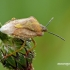 Carpocoris purpureipennis - Rausvasparnė skydblakė | Fotografijos autorius : Darius Baužys | © Macrogamta.lt | Šis tinklapis priklauso bendruomenei kuri domisi makro fotografija ir fotografuoja gyvąjį makro pasaulį.