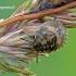 Eurygaster testudinaria - Lenktagalvė vėžliablakė | Fotografijos autorius : Darius Baužys | © Macrogamta.lt | Šis tinklapis priklauso bendruomenei kuri domisi makro fotografija ir fotografuoja gyvąjį makro pasaulį.