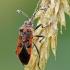 Corizus hyoscyami - Raudonmargė kampuotblakė | Fotografijos autorius : Darius Baužys | © Macrogamta.lt | Šis tinklapis priklauso bendruomenei kuri domisi makro fotografija ir fotografuoja gyvąjį makro pasaulį.
