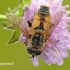 Helophilus hybridus - Žiedmusė | Fotografijos autorius : Darius Baužys | © Macrogamta.lt | Šis tinklapis priklauso bendruomenei kuri domisi makro fotografija ir fotografuoja gyvąjį makro pasaulį.
