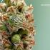 Elasmucha grisea - Alksninė skydblakė | Fotografijos autorius : Darius Baužys | © Macrogamta.lt | Šis tinklapis priklauso bendruomenei kuri domisi makro fotografija ir fotografuoja gyvąjį makro pasaulį.