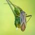 Adelphocoris quadripunctatus - Keturtaškė žolblakė | Fotografijos autorius : Darius Baužys | © Macrogamta.lt | Šis tinklapis priklauso bendruomenei kuri domisi makro fotografija ir fotografuoja gyvąjį makro pasaulį.