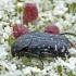Oxythyrea funesta - Kvapusis auksavabalis | Fotografijos autorius : Darius Baužys | © Macrogamta.lt | Šis tinklapis priklauso bendruomenei kuri domisi makro fotografija ir fotografuoja gyvąjį makro pasaulį.
