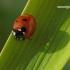 Coccinella septempunctata - Septyntaškė boružė | Fotografijos autorius : Darius Baužys | © Macrogamta.lt | Šis tinklapis priklauso bendruomenei kuri domisi makro fotografija ir fotografuoja gyvąjį makro pasaulį.