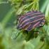 Graphosoma lineatum - Juostelinė skydblakė   Fotografijos autorius : Darius Baužys   © Macrogamta.lt   Šis tinklapis priklauso bendruomenei kuri domisi makro fotografija ir fotografuoja gyvąjį makro pasaulį.