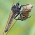 Machimus rusticus - Plėšriamusė | Fotografijos autorius : Darius Baužys | © Macrogamta.lt | Šis tinklapis priklauso bendruomenei kuri domisi makro fotografija ir fotografuoja gyvąjį makro pasaulį.