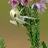 Misumena vatia - Geltonasis žiedvoris | Fotografijos autorius : Darius Baužys | © Macrogamta.lt | Šis tinklapis priklauso bendruomenei kuri domisi makro fotografija ir fotografuoja gyvąjį makro pasaulį.