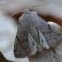 Paprastasis ankstyvasis pelėdgalvis - Orthosia incerta | Fotografijos autorius : Darius Baužys | © Macrogamta.lt | Šis tinklapis priklauso bendruomenei kuri domisi makro fotografija ir fotografuoja gyvąjį makro pasaulį.