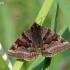 Rusvasis dobilinukas - Euclidia glyphica | Fotografijos autorius : Darius Baužys | © Macrogamta.lt | Šis tinklapis priklauso bendruomenei kuri domisi makro fotografija ir fotografuoja gyvąjį makro pasaulį.
