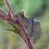 Kupriukas - Ptilodon capucina | Fotografijos autorius : Darius Baužys | © Macrogamta.lt | Šis tinklapis priklauso bendruomenei kuri domisi makro fotografija ir fotografuoja gyvąjį makro pasaulį.