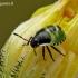 Medinė skydblakė - Palomena prasina, nimfa | Fotografijos autorius : Darius Baužys | © Macrogamta.lt | Šis tinklapis priklauso bendruomenei kuri domisi makro fotografija ir fotografuoja gyvąjį makro pasaulį.