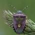 Uoginė skydblakė - Dolycoris baccarum | Fotografijos autorius : Darius Baužys | © Macrogamta.lt | Šis tinklapis priklauso bendruomenei kuri domisi makro fotografija ir fotografuoja gyvąjį makro pasaulį.