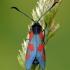 Paprastasis marguolis - Zygaena lonicerae (Scheven- 1777) | Fotografijos autorius : Darius Baužys | © Macrogamta.lt | Šis tinklapis priklauso bendruomenei kuri domisi makro fotografija ir fotografuoja gyvąjį makro pasaulį.