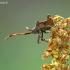 Arkliarūgštinė kampuotblakė - Coreus marginatus (Linnaeus- 1758)- nimfa | Fotografijos autorius : Darius Baužys | © Macrogamta.lt | Šis tinklapis priklauso bendruomenei kuri domisi makro fotografija ir fotografuoja gyvąjį makro pasaulį.