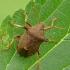 Dvispyglė skydblakė - Picromerus bidens (Linnaeus- 1758)   Fotografijos autorius : Darius Baužys   © Macrogamta.lt   Šis tinklapis priklauso bendruomenei kuri domisi makro fotografija ir fotografuoja gyvąjį makro pasaulį.