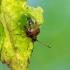 Gudobelinė skydblakė - Acanthosoma haemorrhoidale (Linnaeus- 1758)- nimfa | Fotografijos autorius : Darius Baužys | © Macrogamta.lt | Šis tinklapis priklauso bendruomenei kuri domisi makro fotografija ir fotografuoja gyvąjį makro pasaulį.
