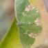 Gelsvadėmis žaliasprindis - Comibaena bajularia | Fotografijos autorius : Darius Baužys | © Macrogamta.lt | Šis tinklapis priklauso bendruomenei kuri domisi makro fotografija ir fotografuoja gyvąjį makro pasaulį.
