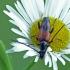 Dvijuostis grakštenis - Stenurella bifasciata | Fotografijos autorius : Darius Baužys | © Macrogamta.lt | Šis tinklapis priklauso bendruomenei kuri domisi makro fotografija ir fotografuoja gyvąjį makro pasaulį.