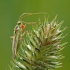 Marganugarė žolblakė - Stenotus binotatus | Fotografijos autorius : Darius Baužys | © Macrogamta.lt | Šis tinklapis priklauso bendruomenei kuri domisi makro fotografija ir fotografuoja gyvąjį makro pasaulį.