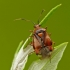 Raudonoji žolblakė – Deraeocoris ruber | Fotografijos autorius : Darius Baužys | © Macrogamta.lt | Šis tinklapis priklauso bendruomenei kuri domisi makro fotografija ir fotografuoja gyvąjį makro pasaulį.