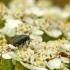 Straubliukas - Miarus sp. / Gymnetron sp. | Fotografijos autorius : Darius Baužys | © Macrogamta.lt | Šis tinklapis priklauso bendruomenei kuri domisi makro fotografija ir fotografuoja gyvąjį makro pasaulį.