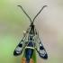 Beržinis stiklasparnis - Synanthedon scoliaeformis | Fotografijos autorius : Darius Baužys | © Macrogamta.lt | Šis tinklapis priklauso bendruomenei kuri domisi makro fotografija ir fotografuoja gyvąjį makro pasaulį.